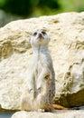 Meercat alert Royalty Free Stock Photo