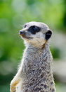 Meercat close up upright looking alert and ready for danger Stock Images