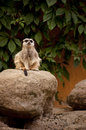 Meercat cute on a rock Stock Images
