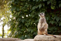 Meercat cute on a rock Stock Image