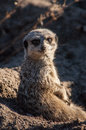Meercat face on chester zoo turning round to look straight at camera Stock Image