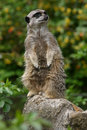 Meercat looking up Royalty Free Stock Photography