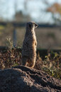 Meercat on lookout chester zoo at looking out into the distance as if sentry duty Stock Photo
