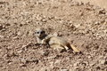 A meercat lying down in the desert Stock Images