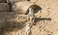 Meercat meerkat animals in zoo looking funny Stock Photos