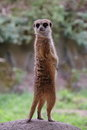 Meercat Meerkat Royalty Free Stock Photo