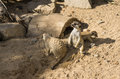 Meercat meerkat mammal wildlife looking animals two details shot image Stock Photo