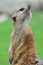 Meercat on sentry duty observing up close up view Royalty Free Stock Photo
