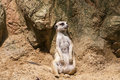 Meercat sitting Stock Photos