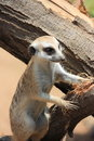Meercat on stump Royalty Free Stock Photography