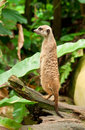 Meercat Watch Royalty Free Stock Photo