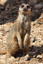 Meercat on watch a standing looking directly in to the camera lens Royalty Free Stock Image