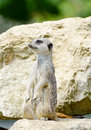 Meercat watching standing upright looking out for danger Stock Photos