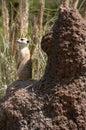 Meerkat 01 Stock Image