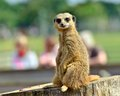 Meerkat Photos stock