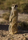 Meerkat adult on sentry duty at dawn on the kalahari Stock Images