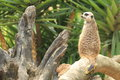 Meerkat the adult sitting on the stub Royalty Free Stock Photo