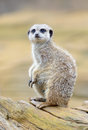 Meerkat alert sentry looking standing on branch Stock Image