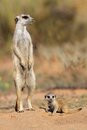 Meerkat with baby suricata suricatta curious kalahari desert south africa Royalty Free Stock Images