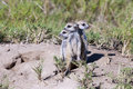 Meerkat babys suricatta suricatta cut standing in the morning sun Stock Images