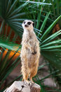 A meerkat on background of palm trees Royalty Free Stock Photography