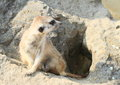 Meerkat brown sitting on a rock and having rest Royalty Free Stock Images