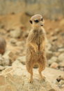 Meerkat brown standing on a rock Stock Photo
