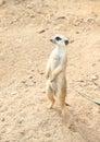 Meerkat brown suricata suricatta standing on a sand Royalty Free Stock Photos