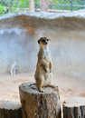 Meerkat brown suricata suricatta standing on wood Royalty Free Stock Image