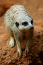 Meerkat closeup portrait Stock Image