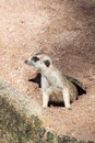 Meerkat crawling out of the holes Royalty Free Stock Images