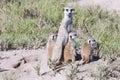 Meerkat with cubs