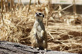 Meerkat curious watching to the flying birds Royalty Free Stock Photos
