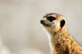 Meerkat cute on guard duty Royalty Free Stock Images