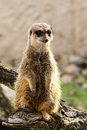 Meerkat cute on guard duty Stock Photos