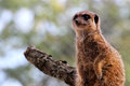 Meerkat cute on guard duty Royalty Free Stock Image