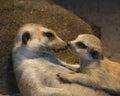 Meerkat family mum cuddle her baby Stock Photo
