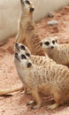 Meerkat group of meerkats in the zoo Royalty Free Stock Images