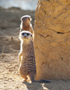 Meerkat on Guard duty Stock Image