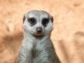 Meerkat on guard, portrait Royalty Free Stock Photo