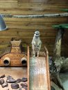 Meerkat is on guard, protects his family in the petting zoo