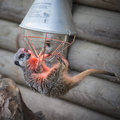 Meerkat hanging on heater Royalty Free Stock Photo