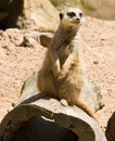 Meerkat on hollow log Royalty Free Stock Photo