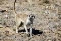 Meerkat in Kalahari Royalty Free Stock Photos