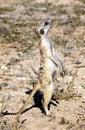 Meerkat in Kalahari Royalty Free Stock Images