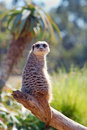 Meerkat on log Royalty Free Stock Photo