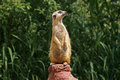A meerkat on the look out stands sentry ready to warn others of approaching dangers Stock Images