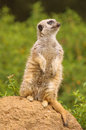 Meerkat looking Stock Photos