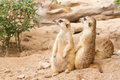 Meerkat looking alert for guard cute animal Royalty Free Stock Photography
