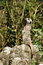 Meerkat looking up Royalty Free Stock Images